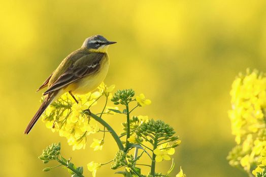 symphony in yellow by Ulliart