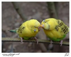 Parakeet 1 by jedro