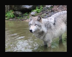 Wolf in the water by ambermac148