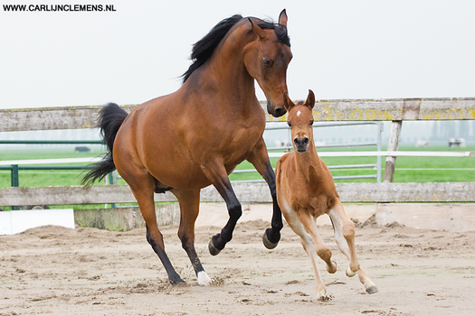 Mother and foal in action! by carlinusje