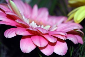 Gerbera by G-gaga