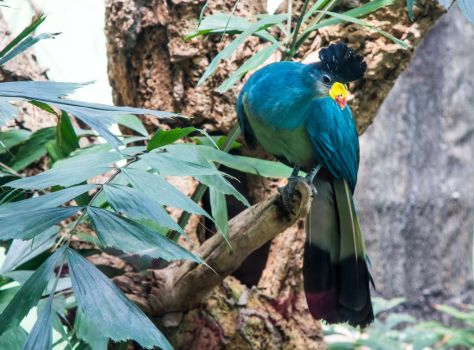 Great Blue Turaco by YULOTH