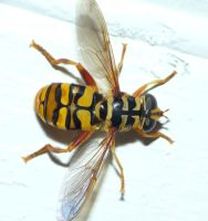 Yellowjacket Hover fly by duggiehoo