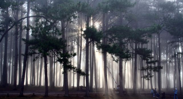 Pine Forest by saetenshi