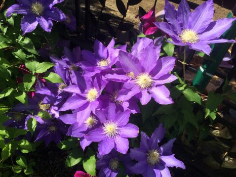 Clematis flowers in the backyard 2 by RLN