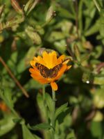 Butterfly and Calendula Stock 02 by botanystock