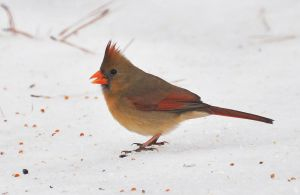 Female Cardinal in Snow by Tailgun2009
