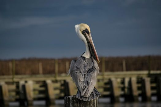 Pelican Awaiting Storm by Grandlxves