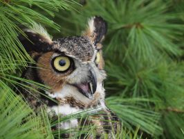 Angry Great Horned Owl by tennisturtle17