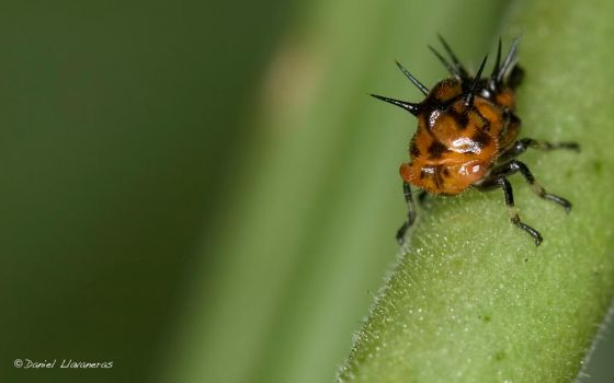 Red spiny leafhopper 02 by dllavaneras