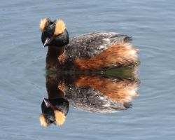 my little horn grebe duck by Nipntuck3