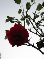 A Rose Silhouette by SoffsArt