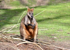 Wallaby by The-Other-Half-Of-Me