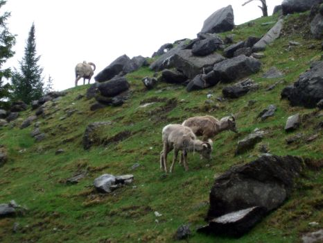 Bighorn Sheep by purple-the-cactus