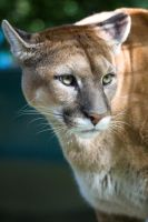 4196 - Cougar by Jay-Co