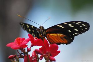 darling butterfly by christinegeier