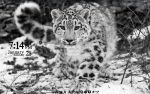 Snow Gepard - 21 January 2012 by UltimatteHD