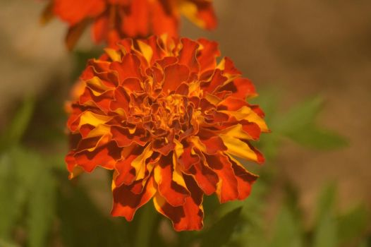 Marigold by Just--Saying