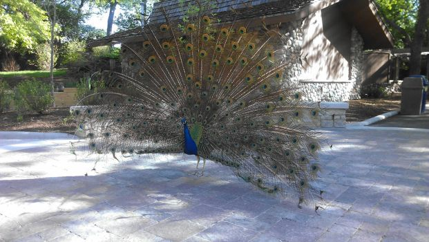 Peacock by Lairenuriel