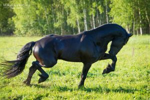 Power of the Friesian horse 2 by Vikarus