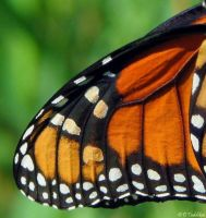 Monarch Butterfly Wing by MacroMagnificent
