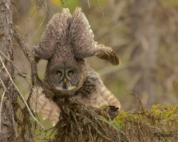 Great Gray Owl by Les-Piccolo