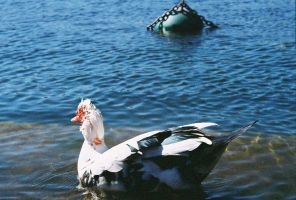 even more muscovy by bettyfelon