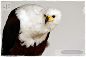 Craning Eagle by lucicerious