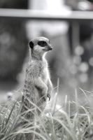 Meerkat II by OrangeCoffin