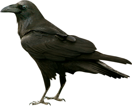 Black raven on a transparent background. by PRUSSIAART