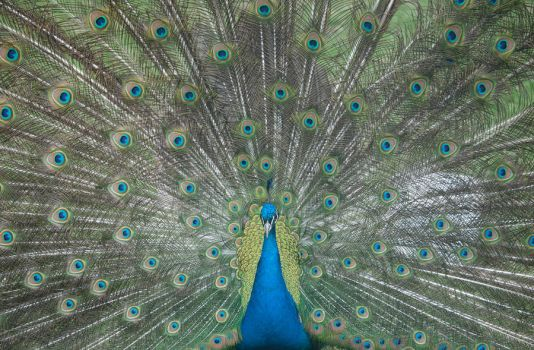 Peacock's Eyes by saronix