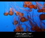 Monterey Jelly Fish by HKstock
