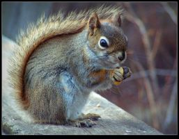 Young Reddish-brown Squirrel by JocelyneR