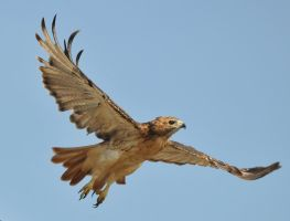 Red Tail Hawk by JSF1
