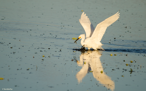Snowy Egret Fishing by TerribleTer