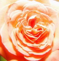Glowing Rose by Bartius007