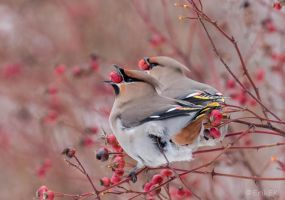 Synchronous eating, Waxwings by ErikEK