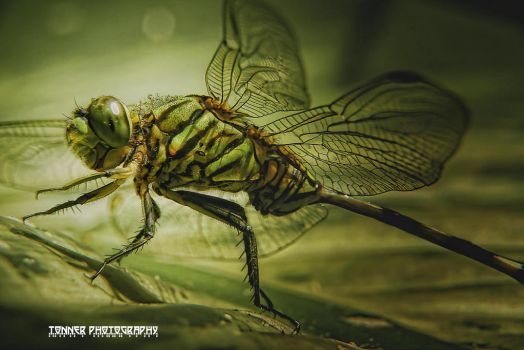 DragonFly II by tonnerphotography