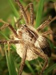 Nursery Spider by iriscup