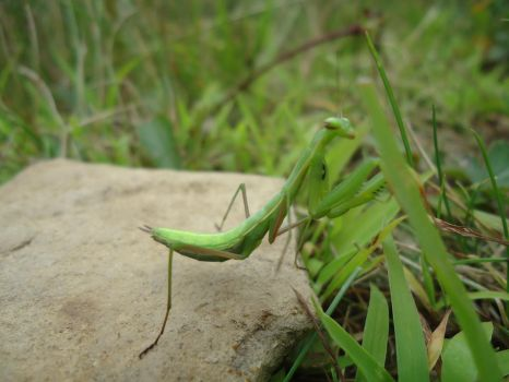 Preying mantis 2 by firecatshadowof2012