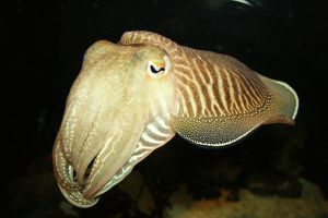 cuttlefish by septopus