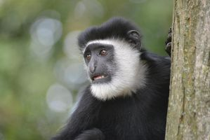 Mantled Guereza by andy3004