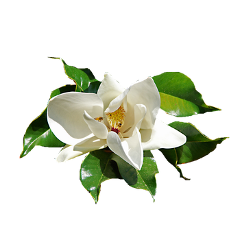 Ficus Elastica isolated flower png by maczopikczo