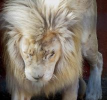 White Lion Stock 2 by HOTNStock