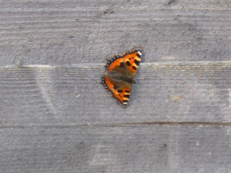 Small Tortoiseshell Butterfly on Fence 2 by Captain-Art-hero
