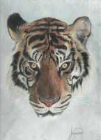 Tiger by Jessica500