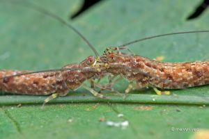 Jumping Bristletails Courtship by melvynyeo