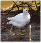 Leucistic Moorhen by In-the-picture