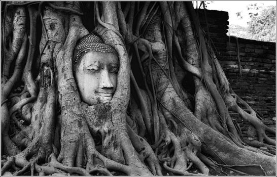 THE ROOTS  AROUND THE HEAD OF BUDDHA IMAGE by OshimaruKung7285