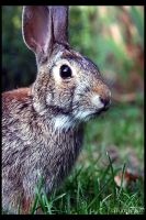 Cottontail Bunny CloseUp by UffdaGreg